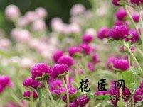 千日红花语的含义
