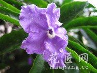 紫茉莉花语的含义