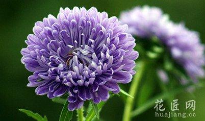 翠菊开花茂盛需要什么条件