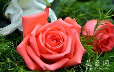 【玫瑰花】玫瑰花养殖_玫瑰花资料大全