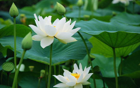 如何防治盆栽荷花不现蕾不开花呢?