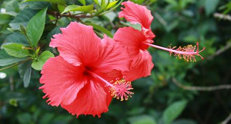 扶桑花的养殖方法