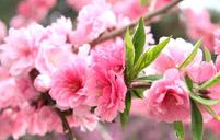 樱花花语的含义
