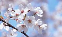 樱花的三个传说意义