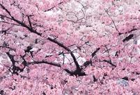 樱花病虫害及其防治方法