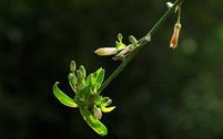 吊兰花卉常见病虫害