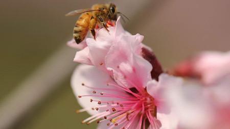 桃花常见病虫害及防治