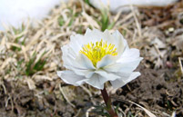 <b>雪莲花常见的病虫害及其防治方法</b>