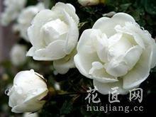 白蔷薇花语是什么?