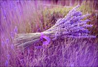 薰衣草病虫害及其防治方法