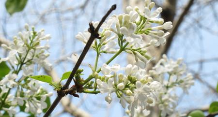 丁香花常见病虫害及防治方法