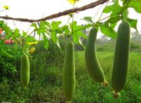 丝瓜的药用功效及其食用价值