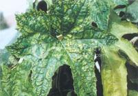 丝瓜常见的病虫害及其防治方法