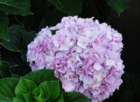 八仙花的繁殖方法都有哪几种