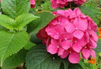 八仙花的药用功效及其作用