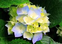 八仙花常见病虫害及其防治方法