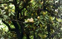 含笑花常见病虫害及其防治方法