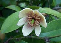 含笑花盆景养护管理常识