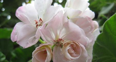 天竺葵精油的功效与作用