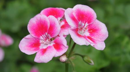 天竺葵的花语 天竺葵来历