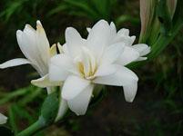 晚香玉花语象征着什么意义