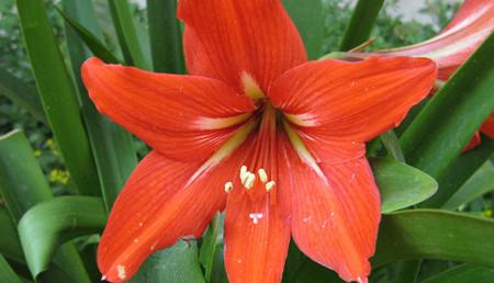 朱顶红的花语是什么?
