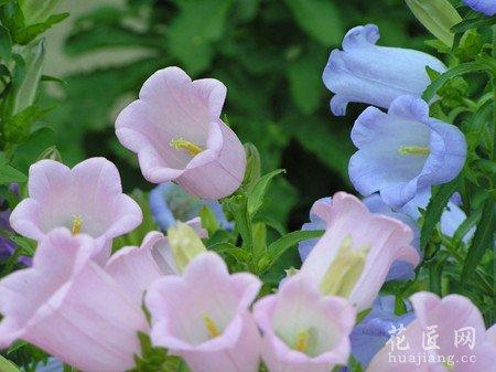 风铃草的花语是什么?