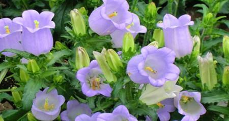风铃草的繁殖方法与栽培管理