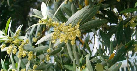 橄榄花的生态特征以及习性