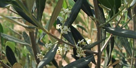 橄榄花的栽培技术