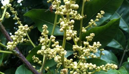 橄榄花的养殖方法