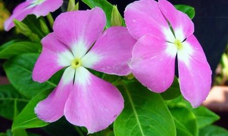 长春花的形态特征以及生态习性