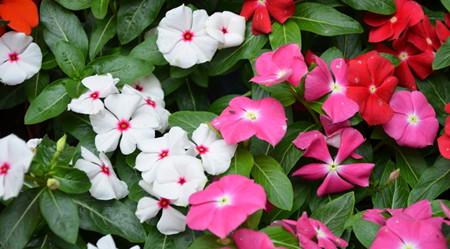 长春花的养殖方法有哪些呢?