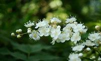 珍珠梅花语象征着什么意义?
