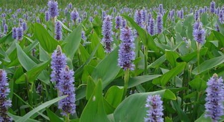 梭鱼草的形态特征以及生态习性介绍