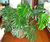 龟背竹有毒 能在室内养殖吗?