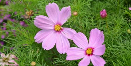 波斯菊的花语 波斯菊的传说
