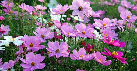 波斯菊的种植方法有哪些呢?