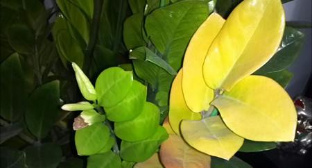 金钱树叶子发黄应该怎么办?