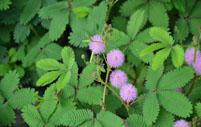 含羞草的养殖方法及其注意事项