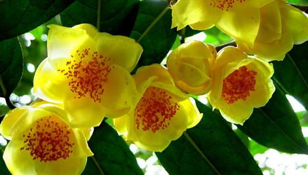 金花茶高产的种植技术