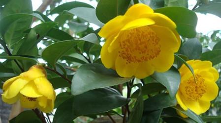 金花茶种苗的扦插繁殖