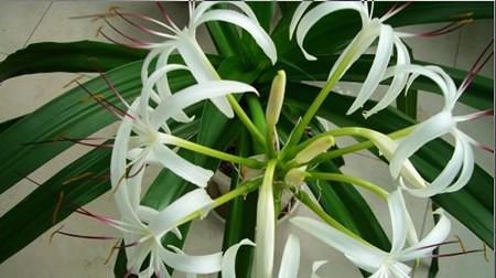 文殊兰的花语是什么