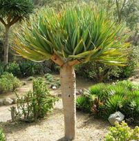 龙血树是不是有毒植物呢 能不能在家养殖