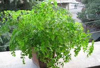 铁线蕨常见的病虫害及其防治方法