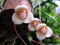 猴面小龙兰养殖方法