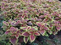 彩叶草常见病虫害及其防治方法