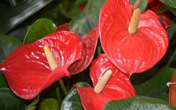 火鹤花的花语是什么?