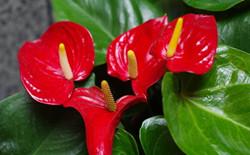火鹤花是否有毒?