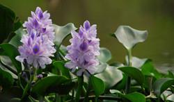 凤眼莲的花语是什么?
